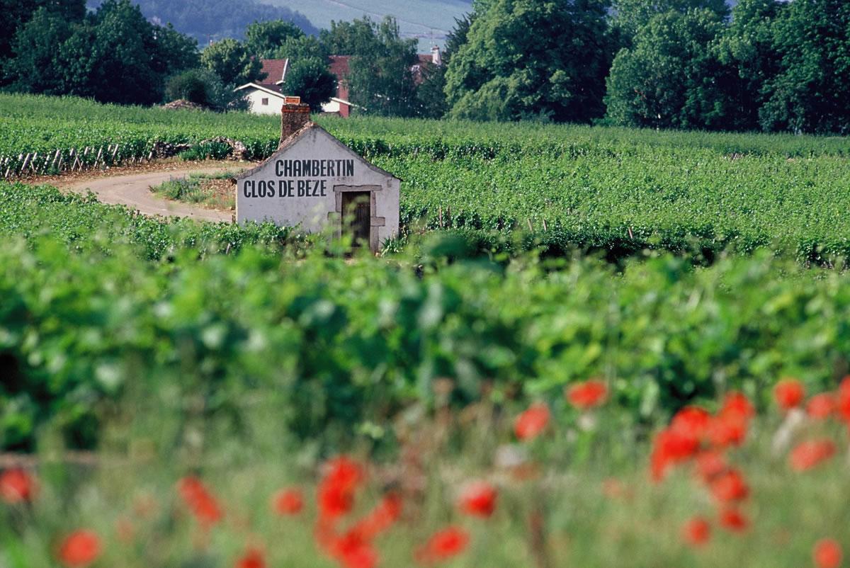 Die Côte de Nuits, südlich von Dijon, ist für seine Grands Crus, darunter Chambertin Clos de Beze bekannt