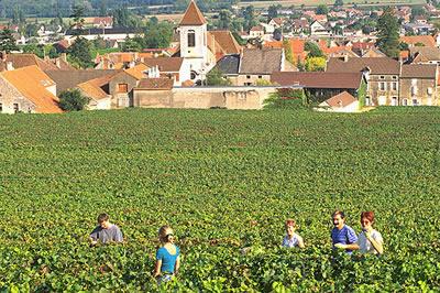 Die Weinlese im Burgund dauert in der Regel 2 bis 3 Wochen. Nach der Weinlese wird der Traubenmost von den Winzern zu den bekannten Weinen verarbeitet.
