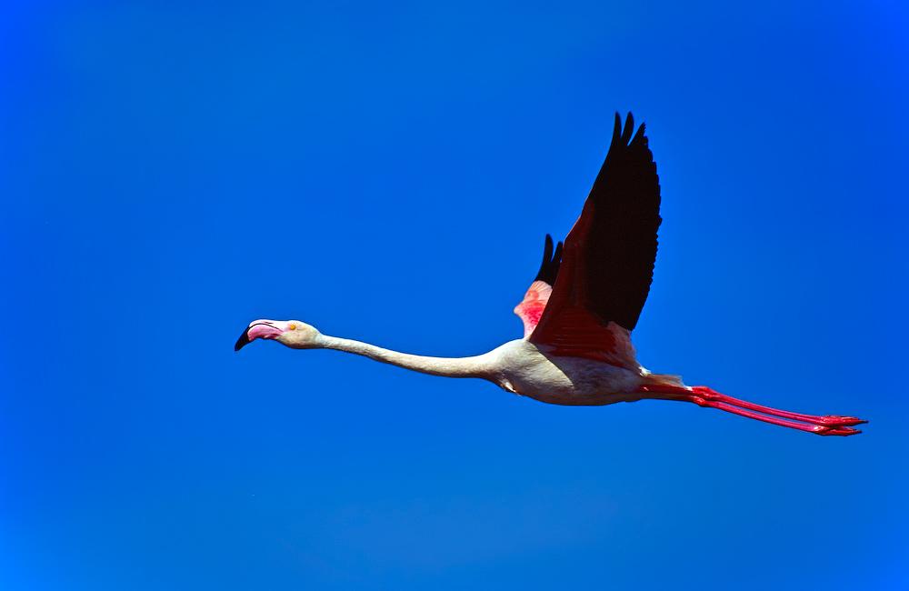 Ein fliegender Flamingo, meistens fliegen Flamingos in Gruppen um so Energie und Kraft zu sparen.