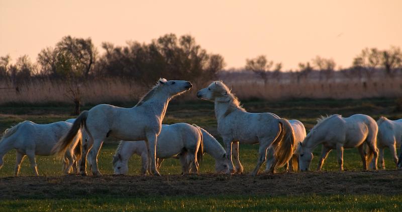 Weiße Camargue Pferde. Die Wildpferde kann man sehr schön in der Camargue beobachten und geben ein herrliches Fotomotiv ab