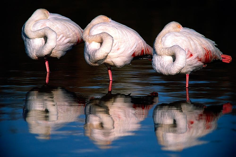 Nicht ungewöhnlich für die Camargue sind die frei lebenden Flamingos. Unter anderem sieht man hier auch weiße Wildpferde und schwarze Camargue-Rinder