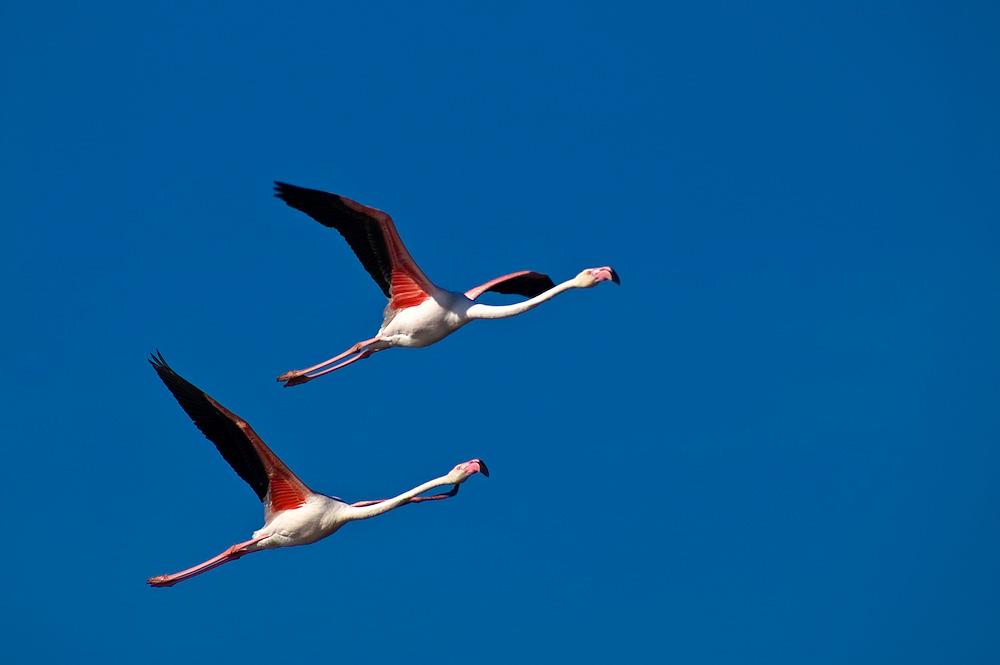 Fliegende rosa Flamingos in der Camargue. Bei bestem Wetter kann man in der Camargue sehr schön die Wildtiere beobachten