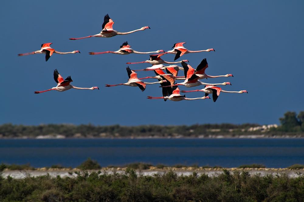 Fliegende Flamingos in der Camargue. Die atemberaubende Schönheit der Camargue beheimatet viele wilde Tiere, so auch Wildpferde.
