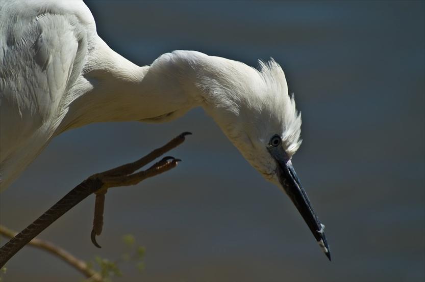 In der Camargue herrscht eine große Artenvielfalt. Der Seidenreiher gehört auch zu den Bewohnern der Camargue