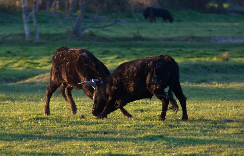 Camargue Bullen messen ihre Kräfte auf den weiten Weiden im Parc Naturel Regional de Camargue