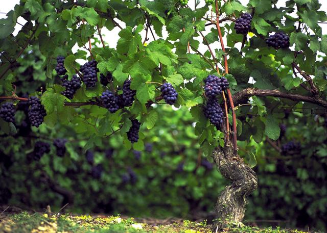 Le Pinot Meunier, eine Schwarzriesling Rebsorte die zur Champagner Gewinnung genutzt wird. Den Namen verdankt es ihren stark behaarten Blättern