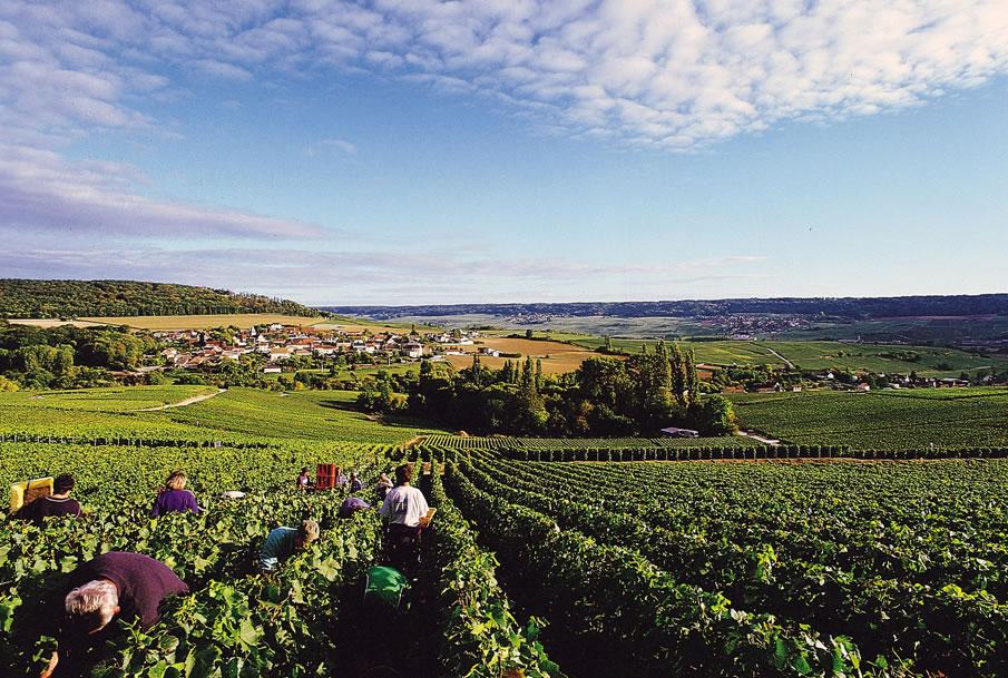 Im Department Marne liegt die Gemeinde Villers sous Châtillon mit seinen Weinbergen. Hier sieht man Erntehelfer bei der Wein Ernte