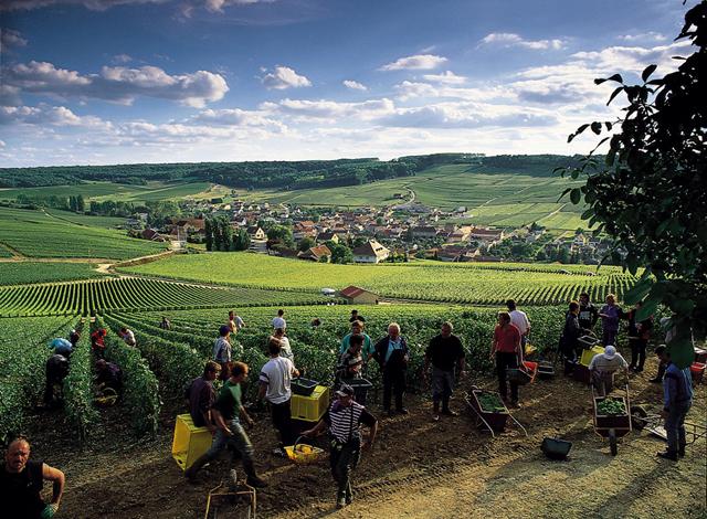 Grauves-Weinberge der Côte des Blancs. Es besteht die Möglichkeit bei einer Weinlese teilzunehmen.