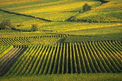 Das elsässische Weinbaugebiet ist, abgesehen von ein paar kleinen Flächen um Wissembourg herum, 100 km lang und nur selten mehr als 5 km breit.