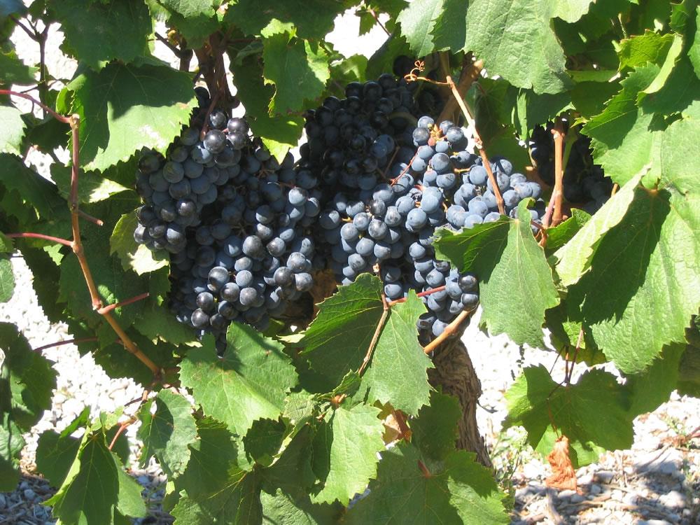 Weinreben. Die Weine aus Frankreich sind Weltberühmt. Hier sieht man eine üppige Weinrebe kurz vor der Ernte