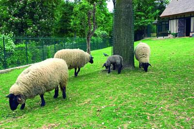 Schafe im Jardin d'Acclimatation. Ein junges Lamm versucht es mit der ersten festen Nahrungsaufnahme und macht es den Großen nach