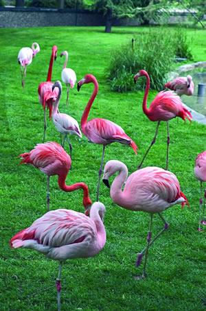 Rosa Flamingos im Botanischer Garten in Paris. Der Jardin des Plantes liegt am südlichen Ufer der Seine im 5. Arrondissement von Paris