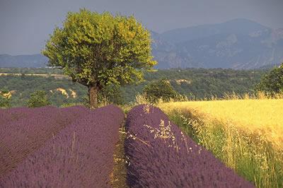 Typisch für das Bild der Provence sind die Lavendelfeld. Im Frühsommer verwandern sich die Felder in ein Meer aus duftenden Blüten.