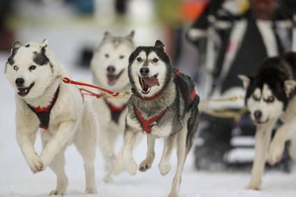 Der Grande Odyssée Savoie Mont Blanc. Das längste und härteste Hundeschlittenrennen der Welt findet in den französischen Alpen statt.