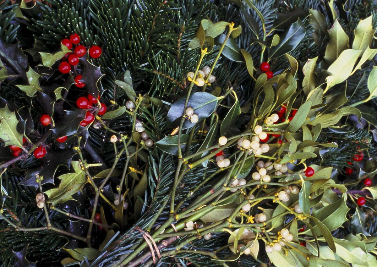 Mistelzweig und Stechpalme für Weihnachten. An Weihnachten ist es brauch jemanden der unter einem Mistelzweig steht zu küssen.