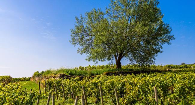 Die Weinlandschaft im Burgund