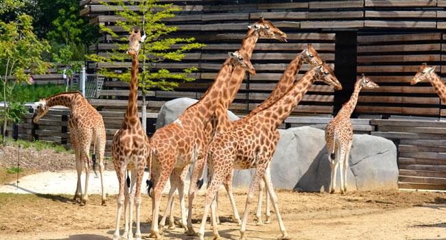 Giraffen im Zoo Paris