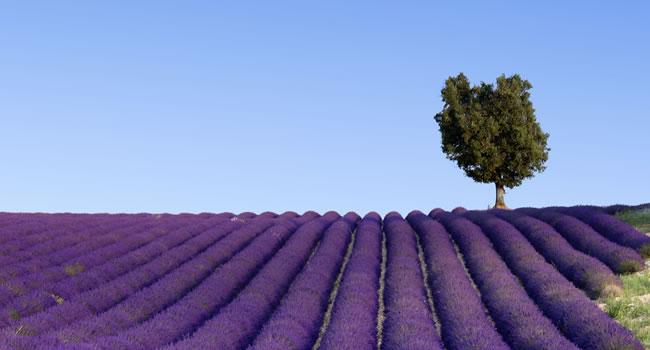 Lavendelfeld im Provence Urlaub