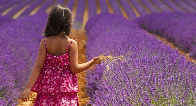 Lavendefeld in der Provence