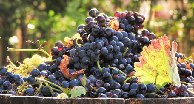 Die Ernte für Bordeaux Weine