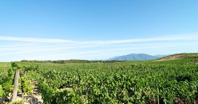 Wein auf Korsika